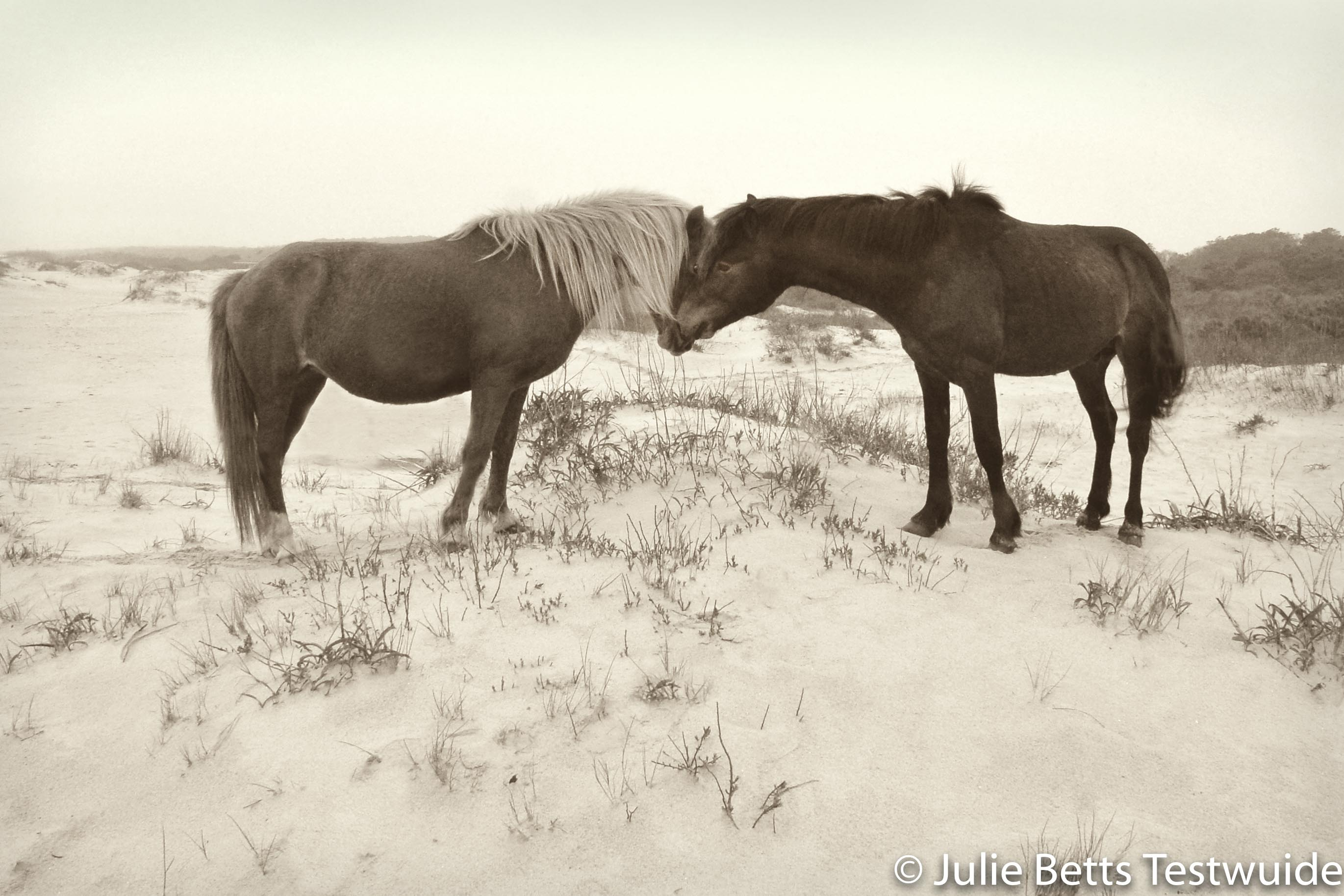 wild horses nuzzling in the dunes