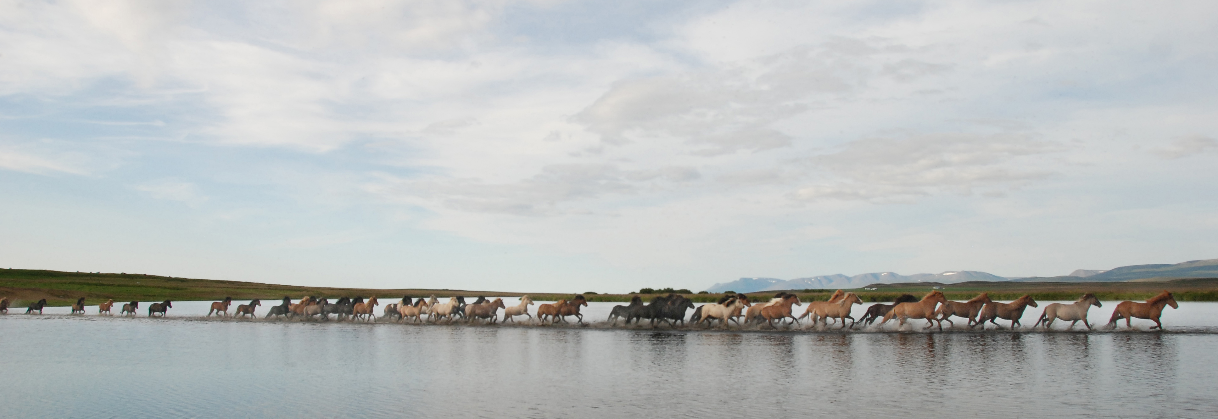 Herd Running through Water-Iceland