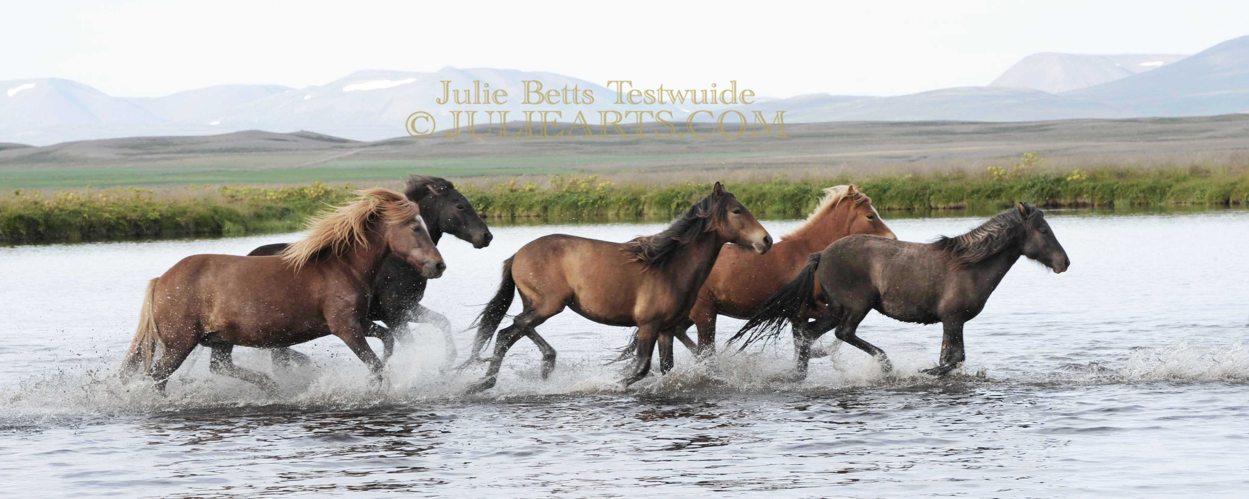 Icelandics Splashing Across the River